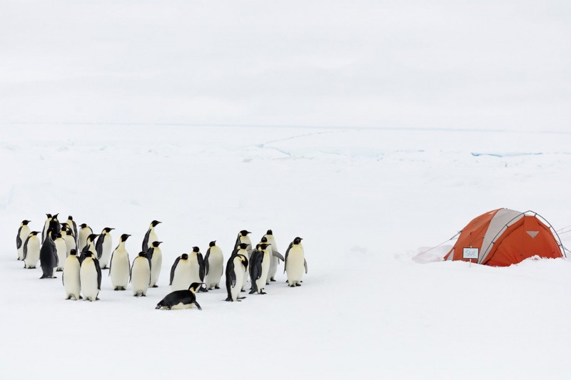 Penguins in the artic